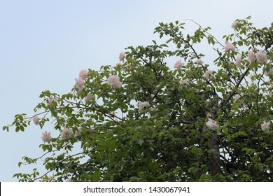 """rambling or climbing rose """"Madame Alfred Carriére"""" with soft pink flowers in an apple tree against a blue sky, old noisette rose bred by schwartz 1875"""