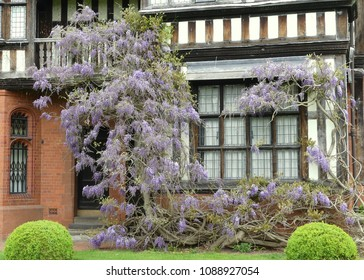 Rambling flowering wisteria, climbing over a mock Tudor timber framed  frontage of a large house with leaded glass windows and topiary to frontage.
