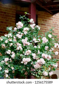 Rambling Rose on veranda