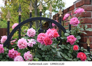 Rambling roses bloomed on the gate door