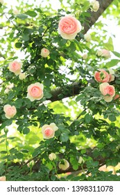 Rambling roses blooming on high tree branches