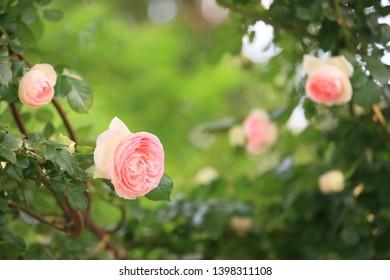 Rambling roses dancing in spring