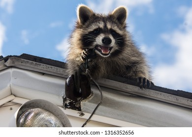 A rambunctious baby racoon on the roof of a garage chewing on old electrical wiring.