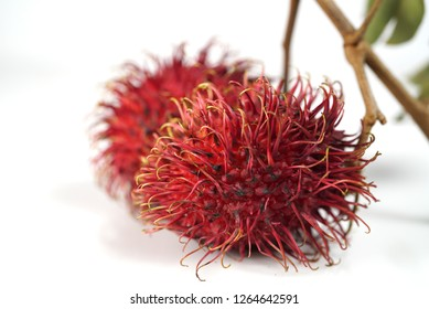 Rambutan fruit is commonly grown in gardens throughout South East Asia.