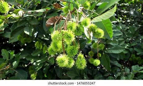 Rambutan Fruit  Growing on Tree, Rambutan Fruit, Rambutan Plant in nature.