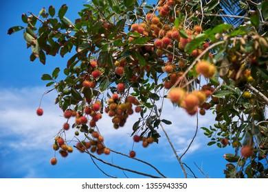 Rambutan fruit on the tree. Indonesia.