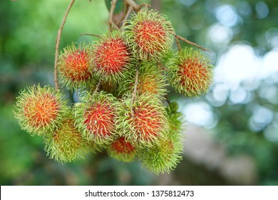 Rambutan is a fruit that has a sweet taste.  The rind of the rambutan is bright red with a bushy appearance. There are many rambutans combined.  Is a summer fruit of Thailand that is very popular as w