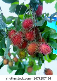 Rambutan is a fruit that has a sweet taste.The rind of the rambutan is bright red with a bushy appearance.There are many rambutans combined.Is a summer fruit of Malaysia that is very popular.