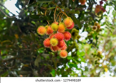 Rambutan fruits or in latin Nephelium lappaceum in its tree with blurry background. Rambutan is derived from the Malay word rambut meaning hair, a reference to the numerous hairy protuberances of it.