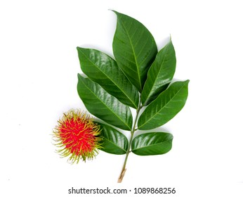 Rambutan fruits and leaves isolated on white background.