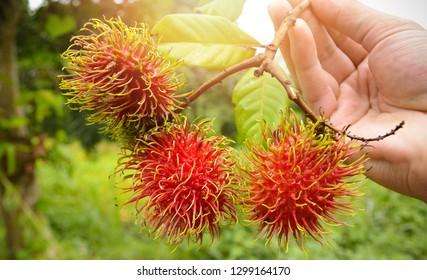 Rambutan in hand / Man holding fresh rambutans fruit harvest from the tropical fruit garden nature background
