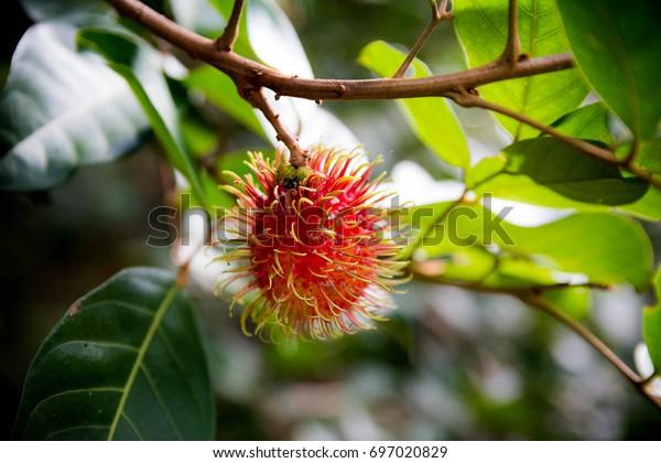 Rambutan on rambutan in the garden, Rambutan on the tree in the garden.
