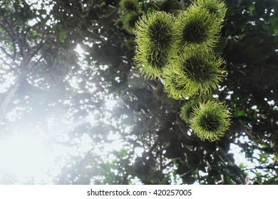 Rambutan on the tree
