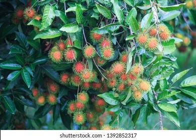 Rambutan on rambutan tree  ready to harvest