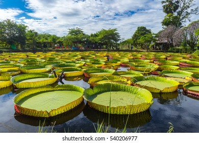 Ramgoolam Botanical Garden, Victoria  Giant Water Lilies, Phitsanulok Thailand. Photography Day December 17, 2016.