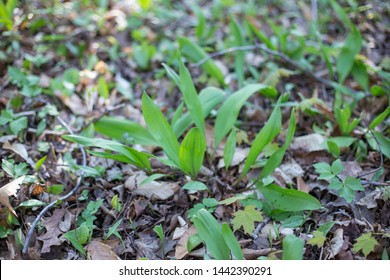 Ramps plant naturally in north Michigan forest leaves growing in the ground seasonal herb wild garlic Ramson