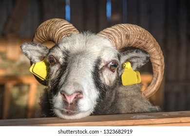 rams in the barn during winter, Lapland, Sweden.A closeup