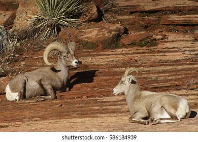 Rams and Desert Bighorn Sheep near Zion National Park Utah
