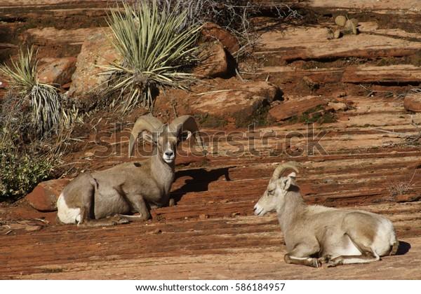 Rams and Desert Bighorn Sheep near Zion National Park Utah