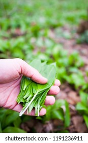 Ramson picking in forest