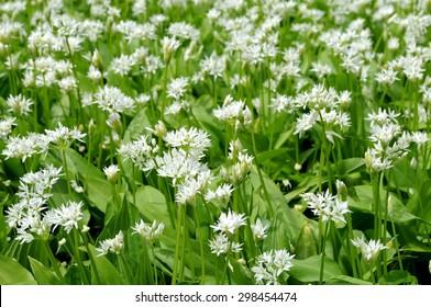 Ramsons (allium ursinum) flowers in spring forest