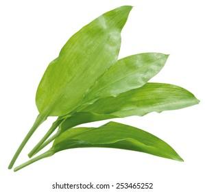 ramsons leaves / wild garlic leaves