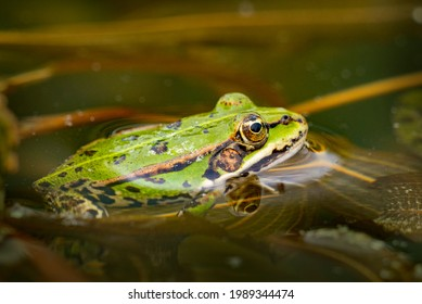 rana esculenta - common european green frog is swimming in a garden pond