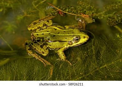 Rana esculenta - Edible frog
