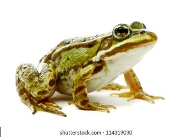 Rana esculenta. Green (European or water) frog on white background.