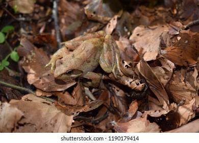 Rana italica frog mimicry