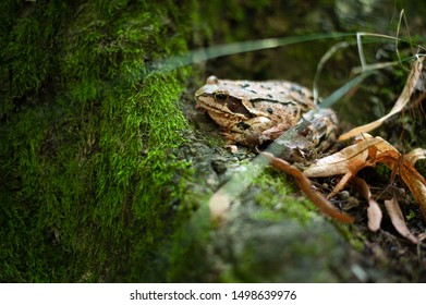 Rana Temporaria. European common brown frog sitting in moos. Very low depth of the field.