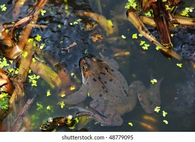 Rana temporaria - the European Common Frog - guarding its spawn, in a natural pond.