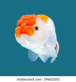 Ranchu Goldfish isolated on water color background.