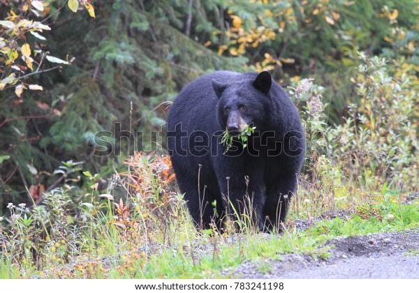 random encounter with black bear on road in Canada