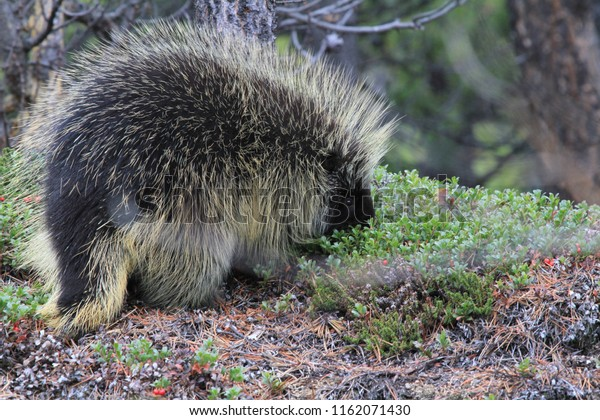 random encounter with wild porcupine in yukon