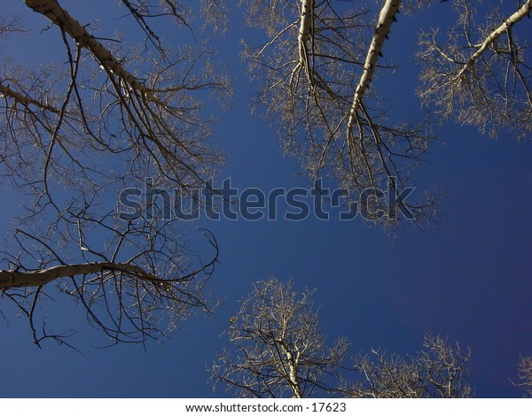 Random shot straight up through some aspen trees in the winter, Colorado