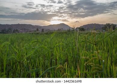 Random weed plants growing between harvests in south India at sunrise.