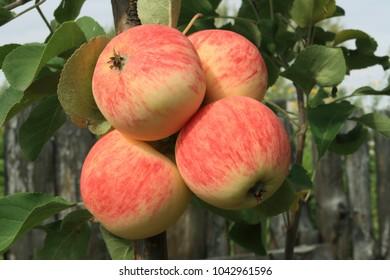 Ranetki red ripe. Harvest of apples in Siberia.