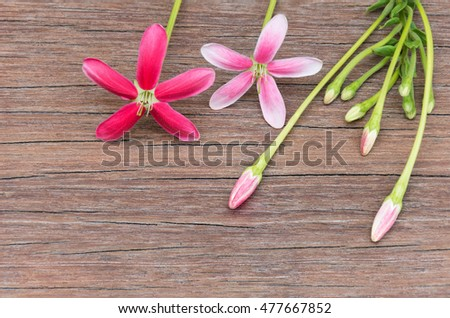 Rangoon creeper blossom pink red flowers stock photo edit now rangoon creeper blossom pink and red flowers bloom and several small bud with long stem mightylinksfo