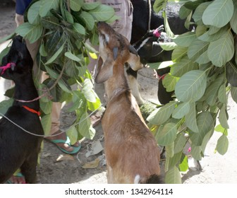 Rangpur, Bangladesh - 08 20 2018: Livestock sale in local market. Farm animals sale in Bangladesh. Many people involved in livestock export import business. Qurbanir Haat. Farm animals for Eid al-Adha