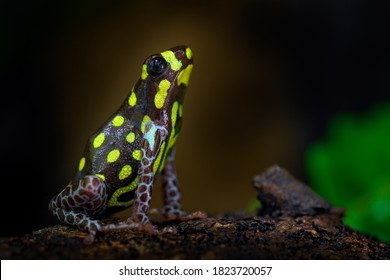 Ranitomeya vanzolinii Brazilian poison dart frog in the nature forest habitat. Dendrobates danger frog from central Peru  and Brazil. Beautiful blue and yellow amphibian green vegetation, tropic.
