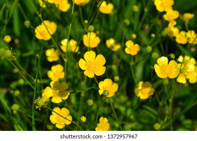 Rannculus acris. Field, forest plant. Flower bed, beautiful gentle plants. Sunny summer day. Yellow flowers. Buttercup is a caustic, common type of buttercups in a temperate climate zone