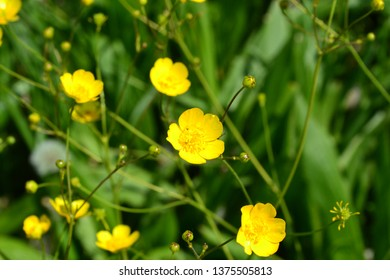 Rannculus acris. Field, forest plant. Flower bed, beautiful gentle plants. Yellow flowers. Buttercup is a caustic, common type of buttercups in a temperate climate zone