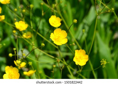 Rannculus acris. Field, forest plant. Flower bed, beautiful gentle plants. Sunny summer day. Yellow flowers, green leaves. Buttercup is a caustic, common type of buttercups in a temperate climate zone