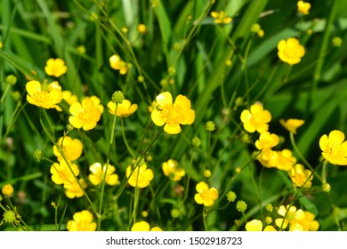 Rannculus acris. Field, forest plant. Flower bed, beautiful gentle plants. Sunny summer day. Yellow flowers, leaves. Buttercup is a caustic, common type of buttercups in a temperate climate zone