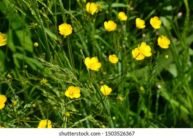 Rannculus acris. Field, forest plant. Flower bed, beautiful. Yellow flowers. Buttercup is a caustic, common type of buttercups in a temperate climate zone
