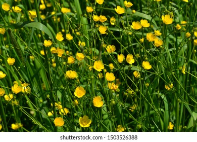 Rannculus acris. Field, forest. Yellow flowers. Buttercup is a caustic, common type of buttercups in a temperate climate zone