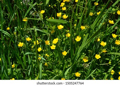 Rannculus acris. Field, forest. Yellow flowers. Buttercup caustic, common type of buttercups