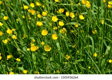 Rannculus acris. Field. Yellow flowers. Buttercup is a caustic, common type of buttercups in a temperate climate zone