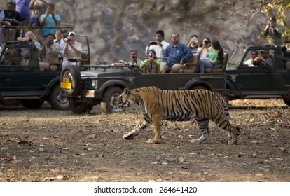 RANTHAMBORE, INDIA, MARCH 11 2015. The Indian Government's tiger protection schemes have caused the wild tiger population to doubled in the past few years